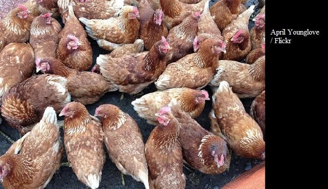 Du poulet qatarien réalité ou utopie