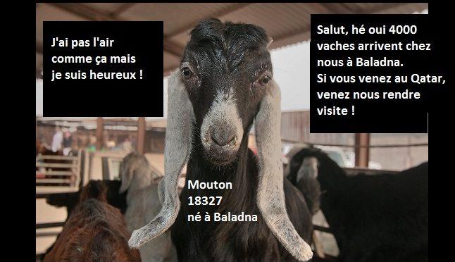 Les vaches arrivent au Qatar à Baladna farm